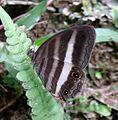 Pareuptychia ocirrhoe ocirrhoe. - Flickr - gailhampshire.jpg