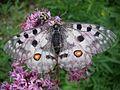 Parnassius apollo (Papilionidae) (Apollo) - (imago), Triglavski narodni park NP, Slovenia.jpg