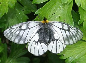 Description de l'image Parnassius glacialis in Mount Ryozen 2011-06-04.jpg.