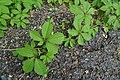 Parthenocissus quinquefolia - whole plant, stem (19063471491).jpg