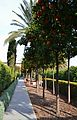 Passeig amb tarongers del jardí de les Hespèrides, València.JPG