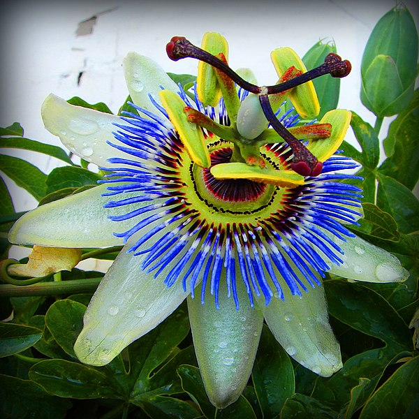 passiflora caerulea blue passion flower. Black Bedroom Furniture Sets. Home Design Ideas