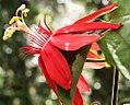 Passiflora f. bracteosa 2zz.jpg