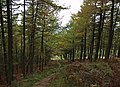 Path through conifer plantation - geograph.org.uk - 594715.jpg