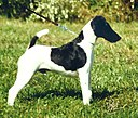 Patrick the Smooth Fox Terrier.jpg