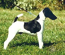 AKC champion Fox terrier