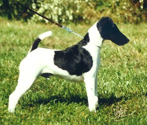 Smooth Fox Terrier - AKC champion Fox Terrier