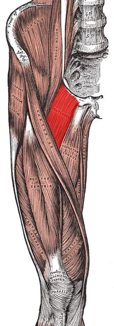 musculus pectineus