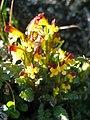 Pedicularis flammea upernavik 2007-07-11.jpg
