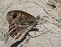 Pedregosa (Lasiommata maera).jpg