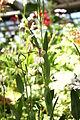 Pelargonium lanceolatum 01.jpg