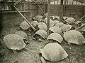 Pen of tortoises in market.jpg
