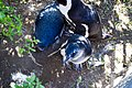 Penguins at Boulders Beach, Cape Town (24).jpg