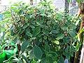 Peperomia blanda var. floribunda (5187734485).jpg