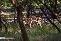 Persian Fallow Deers in Dasht-e Naz Wildlife Refuge 2020-06-02 15.jpg