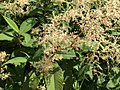 Persicaria wallichii Greuter and Burdet (AM AK357194-3).jpg