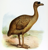 Illustration of a light-brown solitaire with a large black knob on the base of the beak