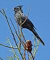Phainopepla nitens -Tucson -Arizona-8c.jpg