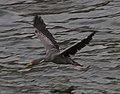Phalacrocorax gaimardi 02.jpg