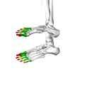 Phalanges of the foot07 inferior view.png