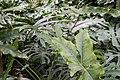 Philodendron stenolobum 3zz.jpg