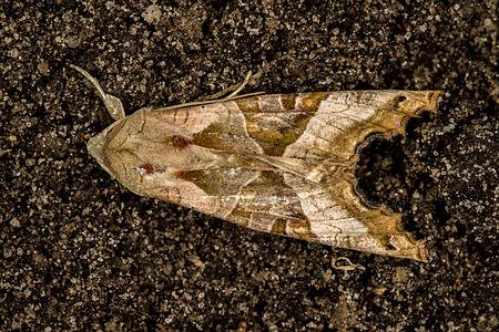 Phlogophora meticulosa, Lodz(Poland)01(js).jpg