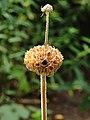 Phlomis russeliana, brandkruid.JPG