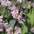 Phlomis tuberosa-IMG 3617.jpg