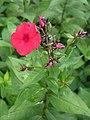 Phlox paniculata Floks wiechowaty 2009-07-20 01.jpg
