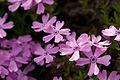 Phlox subulata s02.jpg