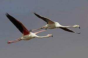 Phoenicopterus roseus flight (Walvis bay).jpg