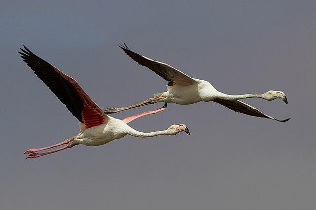 Foto van de Europese Flamingo