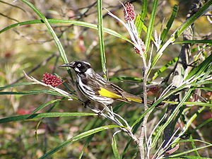 Grevillea - New Holland honeyeater on Grevillea aspleniifolia, Australian National Botanic Gardens, Canberra