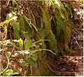 Phyllitis scolopendrium Mangfalltall BavariaMay2005b.jpg
