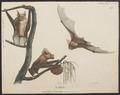 Phyllorhina cruminiferus - 1700-1880 - Print - Iconographia Zoologica - Special Collections University of Amsterdam - UBA01 IZ20700169.tif