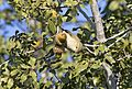 Phylloscopus collybita - Common Chiffchaff, Adana 2016-11-27 02-1.jpg