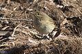 Phylloscopus trochilus - Willow Warbler, Adana 2017-01-15 07-1.jpg