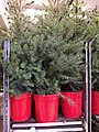 Picea Omorika RS-GG.jpg