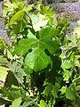 Picpoul blanc leaf.jpg
