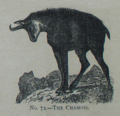 Picture Natural History - No 72 - The Chamois.png