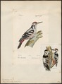 Picus leuconotus - 1842-1848 - Print - Iconographia Zoologica - Special Collections University of Amsterdam - UBA01 IZ18700051.tif