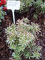Pieris japonica variegata.jpg