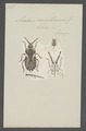 Piestosoma - Print - Iconographia Zoologica - Special Collections University of Amsterdam - UBAINV0274 041 02 0017.tif