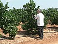 PikiWiki Israel 14061 Danny Shahar working citrus grower.JPG