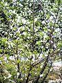 PikiWiki Israel 30949 Plum Blossoms.jpg