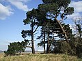 Pines at the end of the Spartina Marshes, Hythe. - geograph.org.uk - 373009.jpg