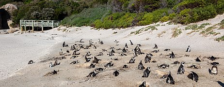 Pingüinos de El Cabo (Spheniscus demersus), Playa de Boulders, Simon's Town, Sudáfrica, 2018-07-23, DD 19.jpg