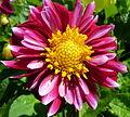 Pink flower (7705383292).jpg