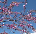 Pink legume blossom (4469291698).jpg