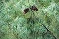 Pinus armandii Cangshan.jpg